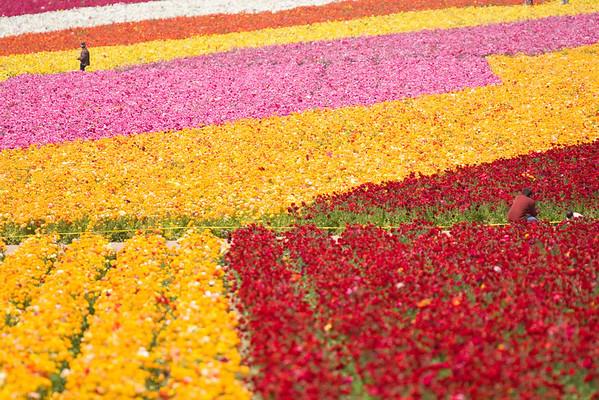 20090404 Flower Fields