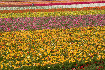The Flower Fields, a sea of ranuculus.  Carlsbad, CA April 2009.  The Flower Fields in Carlsbad have become a tourist attraction with a fee to enter.  LegoLand California is just east of the fields, and the land it occupies was once used for flower growing as part of this operation as well.