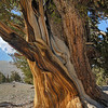Bristlecone Pine - Patriarch Grove - White Mountains, California
