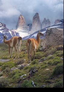 Guanacos, not Llamas