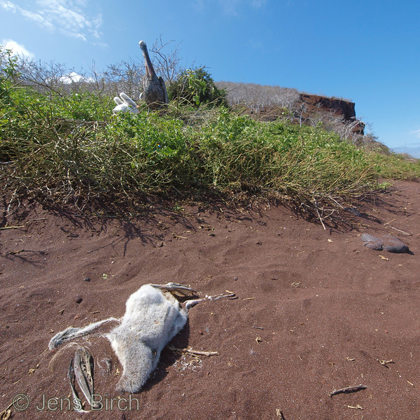A pelican chick has met its fate.