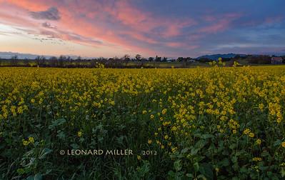 Mustard Field - Sonoma County - 2012