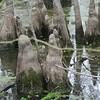Cypress swamp<br /> East of Little Rock
