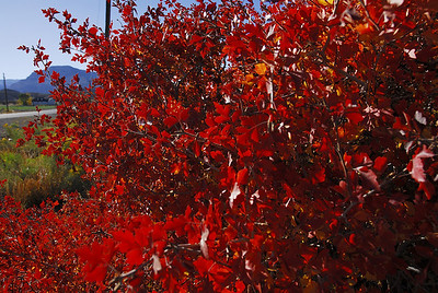 Bright red squawbush