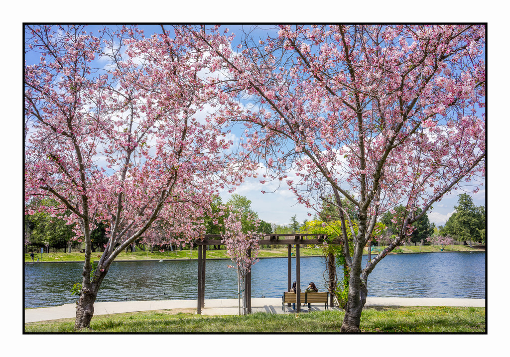 Cherry Blossoms; Balboa Park, Encino, Ca.