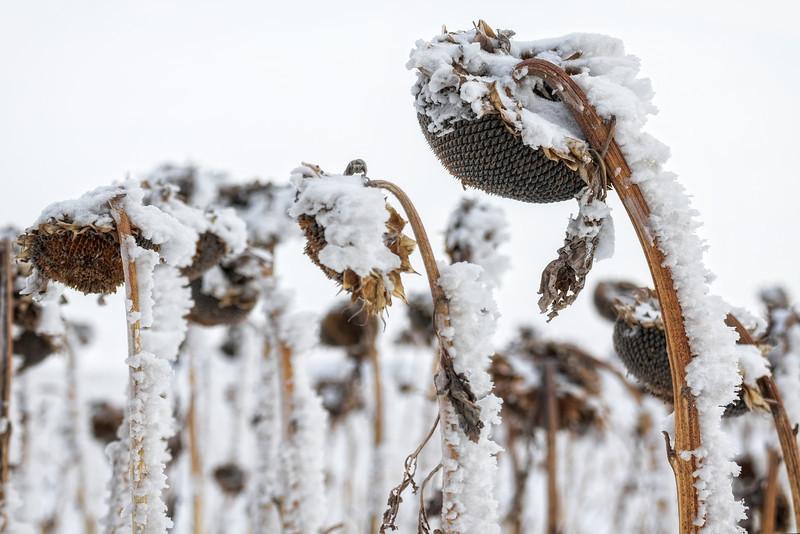 snow, winter, sunflower