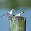 Terns birds
