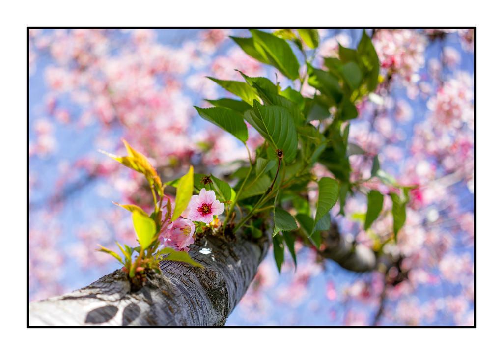 Cherry Blossom Tree; Balboa Park, Encino, Ca.
