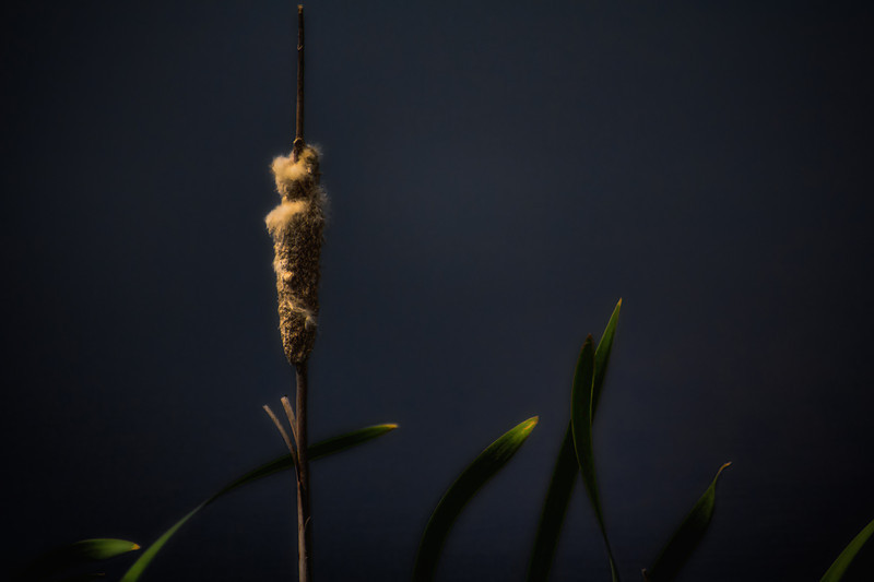 Cattail by Moonlight