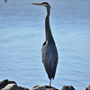Great Blue Heron one leg