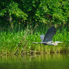 Blue heron patrolling 2