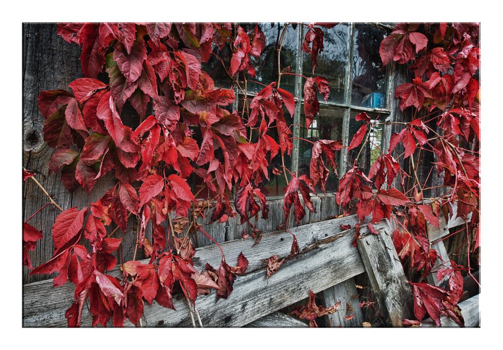 _DLS0492 HDR Red Vine