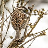 American Tree Sparrow on ice