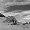 Oak - Marin Pasture