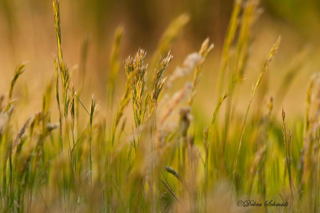 _DLS3549 Swamp Grass