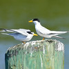 Terns love