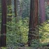 Sequoia Grove, Yosemite NP, CA