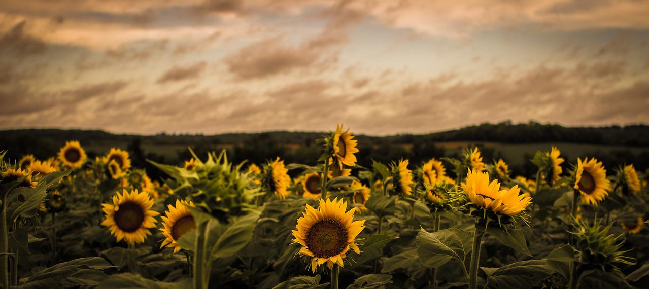 Grinter Farms Sunflower Field Lawrence, KS