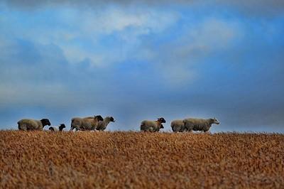 Sheep, WA, Australia