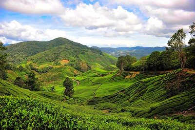 Sungei Palas Bot Tea Estate, Cameron Highlands, Malaysia