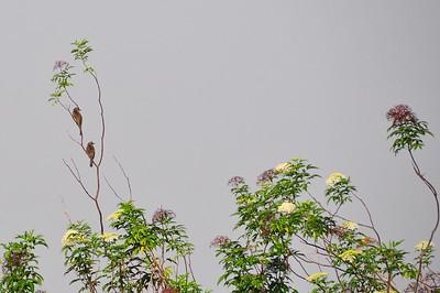 Birds in foggy forest, Kinabalu Park, Sabah, E. Malaysia