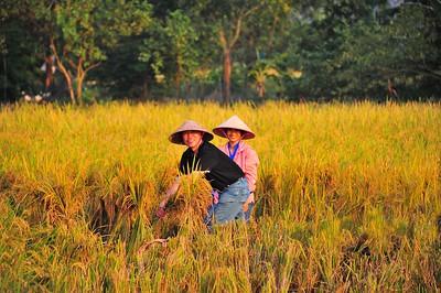 Farmers at rice field, Ninh Binh, Vietnam