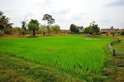 Rice Field, Siem Reap, Cambodia