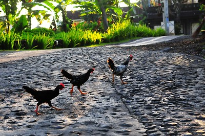 Chicken crossing the road, Ubud, Indonesia