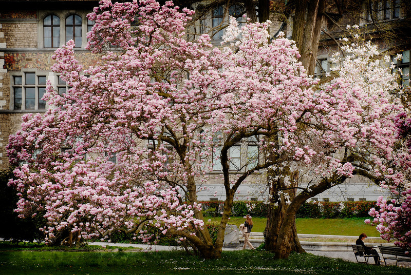Zurich, Switzerland, blossoms in spring time