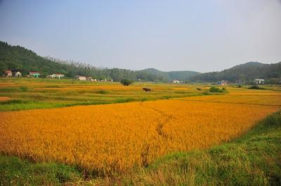 Rice field, Quan Lan Island, Vietnam