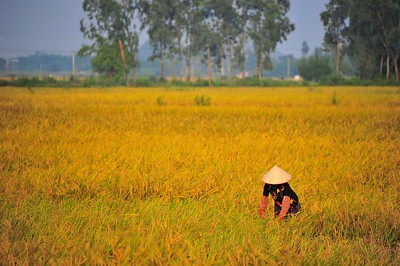 Woman working at rice field, Ninh Binh, Vietnam