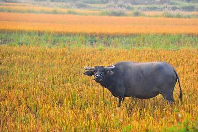 Water buffalo, Quan Lan Island, Vietnam