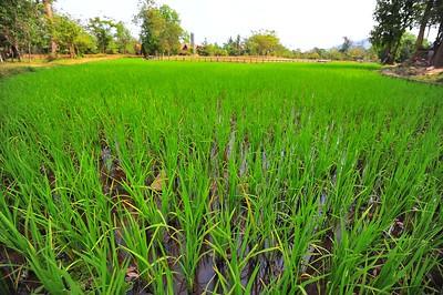 Rice Field, Banteay Srei, Siem Reap, Cambodia