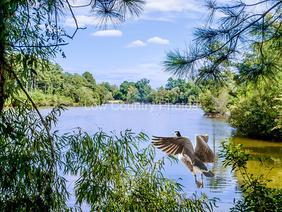 A little lake in Kinston, NC that provided a very scenic view as I looked through the trees. Lots of wildlife and birds around this beautiful hidden lake. The Watermark will not show on printed images