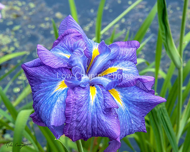 Iris from Swan Lake in Sumter, SC The Watermark will not show on printed images