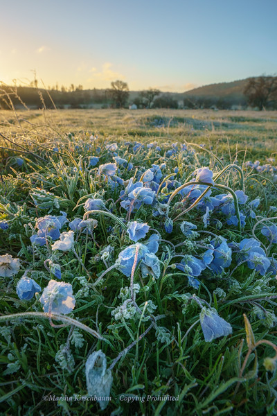 Frosted Wildflowers at Dawn await the Sun's release.