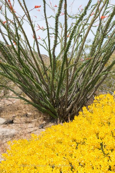 Ocotillo and Desert Sena