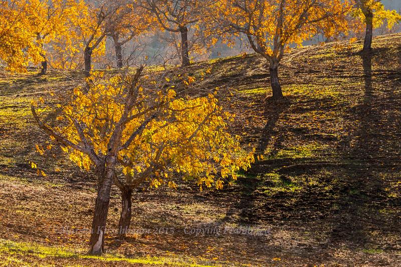 Fall Leaves- Walnut Grove