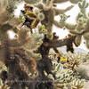 Cholla Cactus Garden I