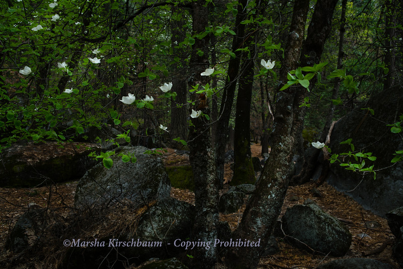 Dogwood Floating in the Forest Like Butterflies