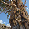 Where Age Counts . . . Bristlecone Pine