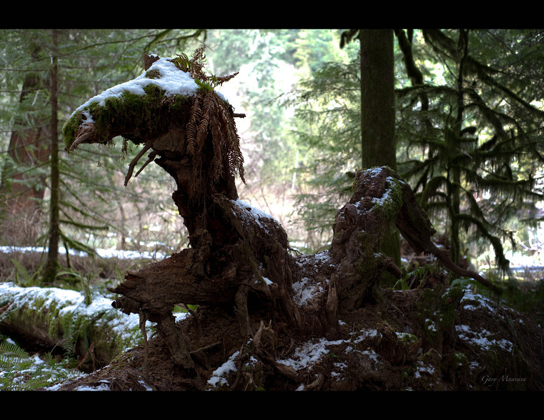 Forest dragon - Cathedral Grove - Vancouver Island, BC