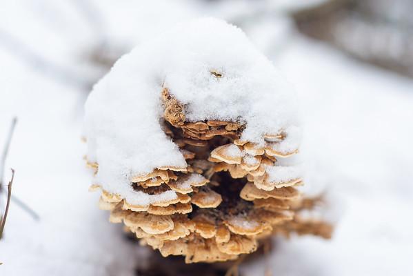 Winter Fungus