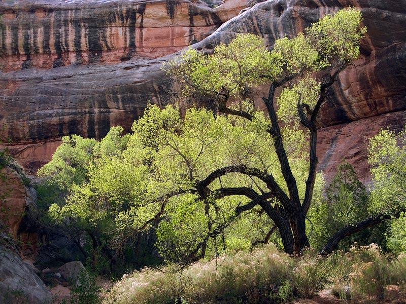 Backlit cottonwood tree in White Canyon, Utah