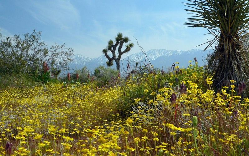 Springtime high-desert scene near Palmdale, CA, with the San Gabriel Mtns in the distance, April 2, 2005.