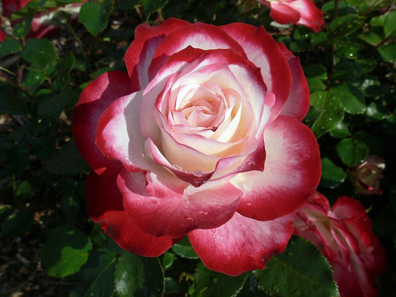 """Double Delight"" rose at South Coast Botanic Gardens, Palos Verdes, CA, April 2006."