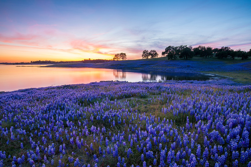 Folsom Lake Lupine