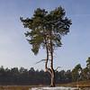 Scots Pine, Oxshott Heath, January