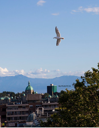 Seagull flying in town 3325
