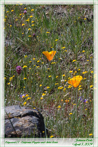 Edgewood 07 - California Poppies and Gold Fields  Common Name:  California Poppy Scientific name:  Eschscholzia californica Family:  Poppy  (Papaveraceae) Habitats:  Chaparral, grassland, woodland  Common Name:  California Goldfields Scientific name:  Lasthenia californica Family:  Sunflower  (Asteraceae) Habitats:  Serpentine grassland     Went on a 3 hour docent-led hike through the Edgewood County Park and Natural Preserve in Woodside in the San Francisco Bay Area.  This is a fun, slow hike through a lot of native California plants.  Woodsite, California, 05 April 2009
